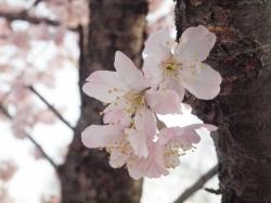 南足柄の桜です