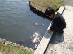 やっぱり鯉